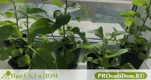Как вырастить петунию из семян на рассаду