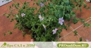 Как вырастить дома бакопу из семян?