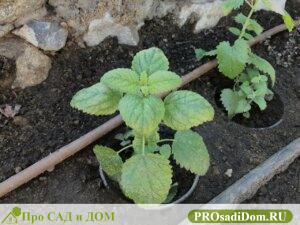 Как вырастить рассаду мелиссы