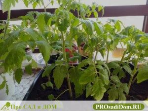 Уход за томатами (помидорами): в теплице и в открытом грунте