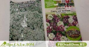 Как вырастить рассаду алиссума дома