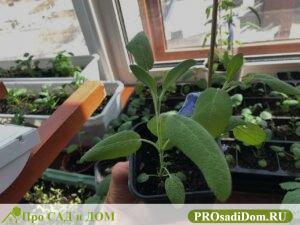 Как вырастить шалфей: из семян, на даче, дома, рассаду шалфея