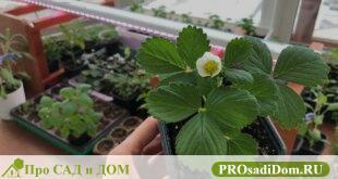 Как вырастить землянику из семян в домашних условиях на рассаду
