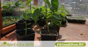 Сажаем перец на рассаду: подготовка почвы, уход, подкормка