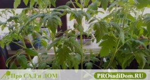как ухаживать за томатами