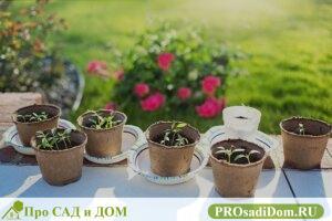 """Перец – теплолюбивое растение, поэтому высадка перцев в грунт производится в определенные сроки, после того, как почва прогреется до 15 градусов. Нельзя назвать единые сроки высадки перца, они разнятся для разных регионов. Обычно это происходит в мае – июне. К этому времени возраст рассады составляет 2 месяца, она имеет по 7–9 хорошо развитых листа, несколько цветков. Раннеспелые сорта могут иметь завязь. <div class=""""mwm-aal-container""""><a class='mwm-aal-item' name='Content-bal-title'></a><div class='mwm-aal-title'></div><ul><ul><li><a href=""""#odgotovka-uchastka"""">Подготовка участка</a></li><li><a href=""""#eresadka-rassady-v-teplicu"""">Пересадка рассады в теплицу</a></li><li><a href=""""#eresadka-v-otkrytyy-grunt"""">Пересадка в открытый грунт</a></li></ul></div> Подготовка участка Желательно с осени определить, какие грядки выделите для перца. Они должны прогреваться солнцем, быть защищенными от ветра. Правильные предшественники – лук, бобовые, тыквенные. Лучший грунт для перца – рыхлая суглинистая или супесчаная почва с большим количеством гумуса, обогащенная питательными веществами, без избытка азота. Подготовка почвы и прочие секреты хорошего урожая заключаются в первоначальном анализе земли с грядки. Анализ почвы позволит добиться нужной кислотности, для перца она должна составлять PH 6–6,6. Если показатель ниже 6, добавьте известковые материалы – мел, гашеную известь. Удобрения вносят в почву осенью или за несколько недель до высадки рассады. Из органических удобрений используют перегной, компост, птичий помет. Опытные огородники смешивают органические и минеральные удобрения. Пересадка рассады в теплицу Высадка перцев в открытый грунт и в теплицу, имеет существенное отличие. Позаботьтесь о создании оптимального климата: Использование нетканого материала, для защиты перцев, снижает риск их заболеваний и гибели. Этот материал, натянутый внутри теплицы, защищает урожай от солнечных ожогов и конденсата. Удобно сделать переносные конструкции, которые впоследствии можно использ"""