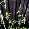 Посадила девичий виноград у забора из профнастила. Не повторяйте моей ошибки!