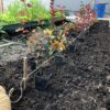 Живая изгородь из пузыреплодника