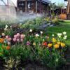 Тюльпаны на 1 год посадки - весна 2019. Здесь посажено примерно 80 луковиц