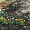 Дачные работы в саду в июне. Выкопка тюльпанов.
